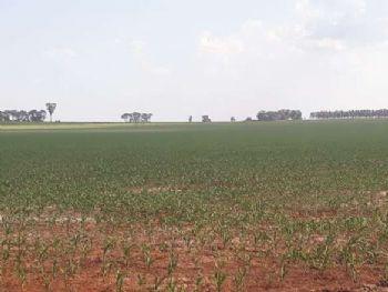 REGIÃO À espera de chuva, produtores têm até dia 20 para plantar milho e reduzir riscos 12 março 2020 - 11h35Por André Bento  Em Itaporã o plantio do milho chegou a 50% da área - Crédito: André Bento/Dourados News