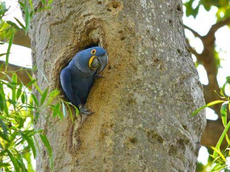 Árvore que a arara-azul utiliza para fazer seu ninho está desaparecendo do Pantanal. (Foto: Divulgação)
